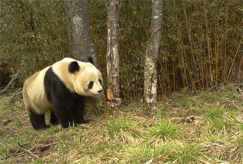 Seagate Surveillance HDDs will help monitor panda habitats in western China