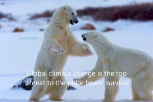 Can Data Help Prevent Massive Loss of Polar Bears — two bears