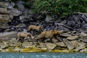 Jonathan Irish - Katmai NP - The search for food is endless.